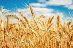 Встановлені норми природних втрат зерна при його зберіганні на складах